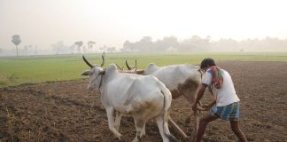 A farmer ploughing with cattle