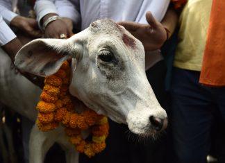 Cow in Kerala