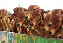 Indian cows stand behind a shelter wall