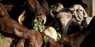 Cows at a shelter in Maharashtra | Allison Joyce/Getty Images