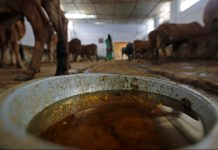 A cow shelter where urine is processed in Uttar Pradesh | Anindito Mukherjee/Bloomberg